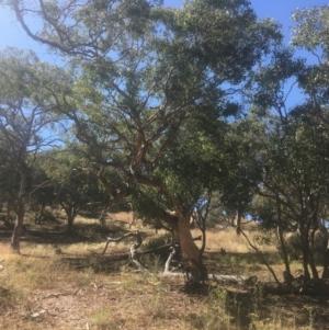 Eucalyptus polyanthemos at Mount Ainslie - 23 Jan 2021