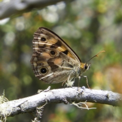 Heteronympha cordace (Bright-eyed Brown) at Namadgi National Park - 25 Jan 2021 by MatthewFrawley