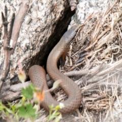 Drysdalia coronoides (White-lipped Snake) at Namadgi National Park - 26 Jan 2021 by SWishart