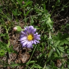 Calotis glandulosa (Mauve Burr-daisy) at Maffra, NSW - 14 Nov 2020 by AndyRussell