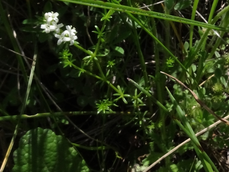 Asperula conferta at Maffra, NSW - 14 Nov 2020