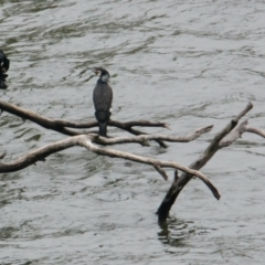 Phalacrocorax carbo (Great Cormorant) at Albury - 25 Jan 2021 by PaulF