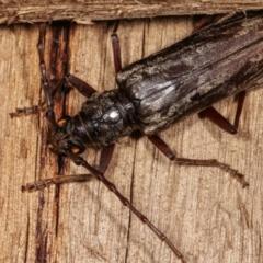Pachydissus sericus (Longhorn beetle) at Melba, ACT - 18 Jan 2021 by kasiaaus