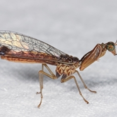 Mantispidae (family) (Unidentified mantisfly) at Melba, ACT - 18 Jan 2021 by kasiaaus