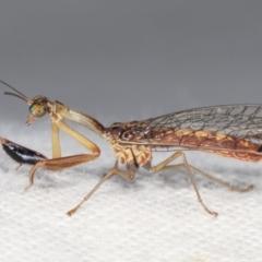 Mantispidae (family) at Melba, ACT - 18 Jan 2021