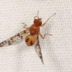 Pyrgotidae sp. (family) (A pyrgotid fly) at Melba, ACT - 18 Jan 2021 by kasiaaus