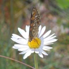 Oreixenica correae at Namadgi National Park - 23 Jan 2021