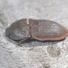 Agrypnus sp. (genus) (TBC) at Namadgi National Park - 23 Jan 2021 by Harrisi