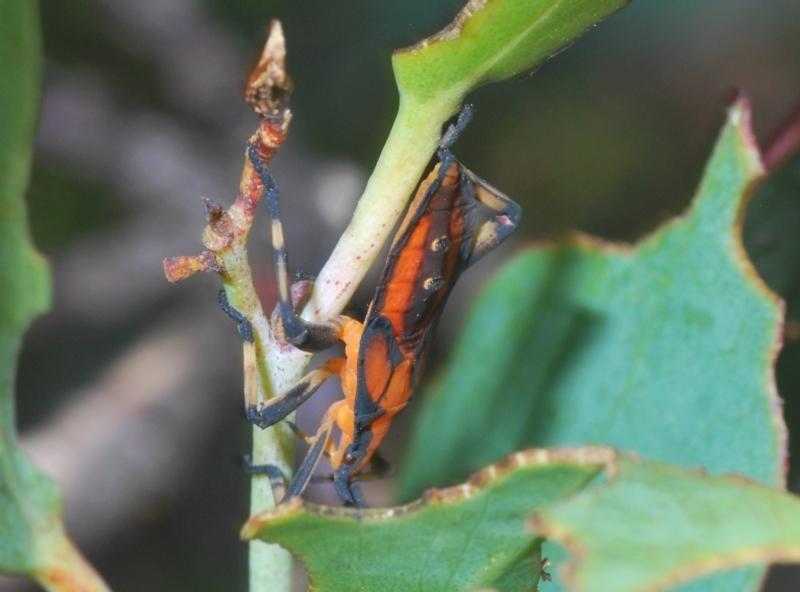 Amorbus sp. (genus) at Cotter River, ACT - 23 Jan 2021