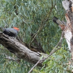 Callocephalon fimbriatum (Gang-gang Cockatoo) at Point One - 24 Jan 2021 by JackyF