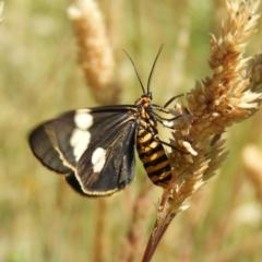 Nyctemera amicus (Senecio or Magpie moth) at Gibraltar Pines - 25 Jan 2021 by MatthewFrawley