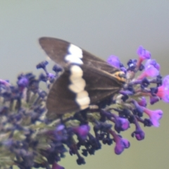 Nyctemera amicus (Senecio or Magpie moth) at Boro, NSW - 26 Jan 2021 by mcleana