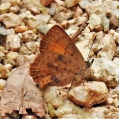 Paralucia aurifer (Bright Copper) at Lower Cotter Catchment - 25 Jan 2021 by JohnBundock