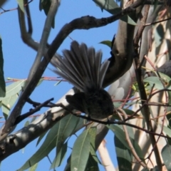 Rhipidura albiscapa (Grey Fantail) at Albury - 25 Jan 2021 by PaulF