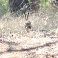 Lepus capensis (Brown Hare) at Albury - 25 Jan 2021 by PaulF