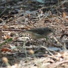 Acanthiza reguloides (Buff-rumped Thornbill) at Albury - 25 Jan 2021 by PaulF