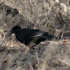 Corcorax melanorhamphos (White-winged Chough) at Albury - 25 Jan 2021 by PaulF