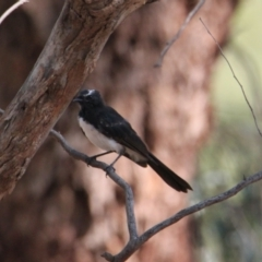 Rhipidura leucophrys (Willie Wagtail) at Albury - 25 Jan 2021 by PaulF