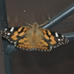 Vanessa kershawi (Australian Painted Lady) at Higgins, ACT - 27 Jan 2021 by AlisonMilton