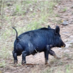 Sus scrofa (Feral Pig) at Lower Cotter Catchment - 27 Jan 2021 by Ct1000