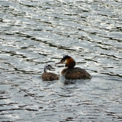 Podiceps cristatus (Great Crested Grebe) at Lower Cotter Catchment - 27 Jan 2021 by Ct1000
