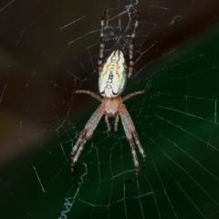 Plebs bradleyi (Enamelled Spider) at Namadgi National Park - 23 Jan 2021 by Harrisi