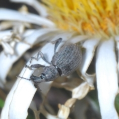 Unidentified Weevil (Curculionoidea) (TBC) at Namadgi National Park - 23 Jan 2021 by Harrisi
