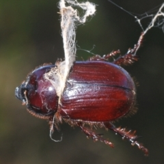 Unidentified Scarab beetle (Scarabaeidae) (TBC) at Uriarra Recreation Reserve - 23 Jan 2021 by Harrisi