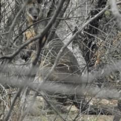 Wallabia bicolor (Swamp Wallaby) at Namadgi National Park - 27 Jan 2021 by KMcCue