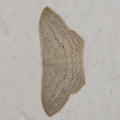 Scopula perlata (Cream Wave) at O'Connor, ACT - 20 Jan 2021 by ibaird