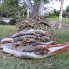 Eucalyptus blakelyi at Curtin, ACT - 8 Dec 2020