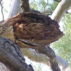 Eucalyptus melliodora at Curtin, ACT - 8 Dec 2020