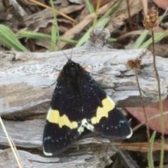 Eutrichopidia latinus (Yellow-banded Day-moth) at Majura, ACT - 27 Jan 2021 by Christine