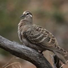 Phaps chalcoptera (Common Bronzewing) at Mount Ainslie - 27 Jan 2021 by jbromilow50