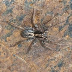 Venatrix sp. (genus) (Unidentified Venatrix wolf spider) at Googong, NSW - 25 Jan 2021 by WHall