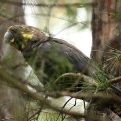 Calyptorhynchus lathami (Glossy Black-Cockatoo) at Morton National Park - 28 Jan 2021 by Snowflake