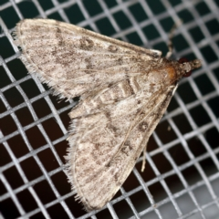 Metasia liophaea (A Crambid moth) at O'Connor, ACT - 20 Jan 2021 by ibaird