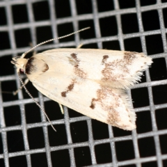 Compsotropha strophiella (A Concealer moth) at O'Connor, ACT - 20 Jan 2021 by ibaird