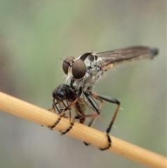 Cerdistus varifemoratus (Robber fly) at Aranda Bushland - 27 Jan 2021 by CathB