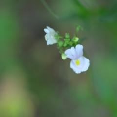 Nemesia strumosa (Nemesia) at Wamboin, NSW - 27 Nov 2020 by natureguy