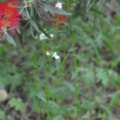 Nemesia strumosa at Wamboin, NSW - 27 Nov 2020
