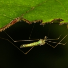 Limoniidae sp. (family) (Unidentified Short-palped Crane Fly) at Acton, ACT - 26 Jan 2021 by Roger