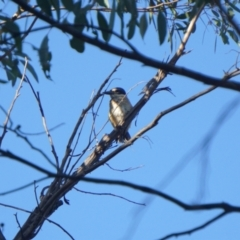 Todiramphus sanctus (Sacred Kingfisher) at Dryandra St Woodland - 22 Jan 2021 by MReevesii00milktea
