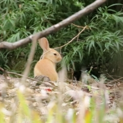 Oryctolagus cuniculus (European Rabbit) at ANBG - 27 Jan 2021 by RodDeb