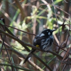 Phylidonyris novaehollandiae (New Holland Honeyeater) at ANBG - 9 Dec 2019 by MReevesii00milktea