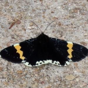 Eutrichopidia latinus at ANBG - 27 Jan 2021