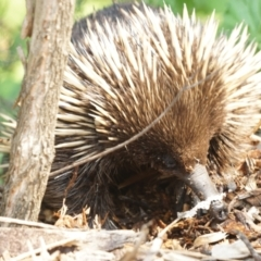 Tachyglossus aculeatus (Short-beaked Echidna) at ANBG - 9 Dec 2019 by MReevesii00milktea