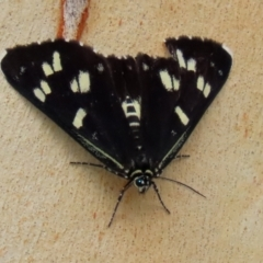 Cruria donowani (Crow or Donovan's Day Moth) at ANBG - 27 Jan 2021 by RodDeb