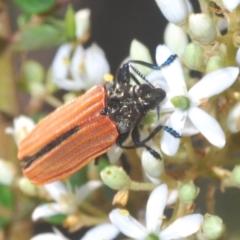 Castiarina nasuta (A jewel beetle) at Paddys River, ACT - 25 Jan 2021 by Harrisi