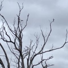Philemon corniculatus (Noisy Friarbird) at Stromlo, ACT - 28 Jan 2021 by Rob1e8